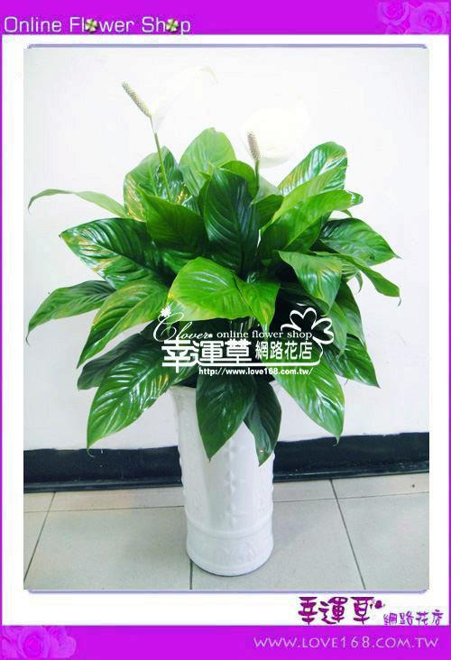 e22白鹤羽盆栽